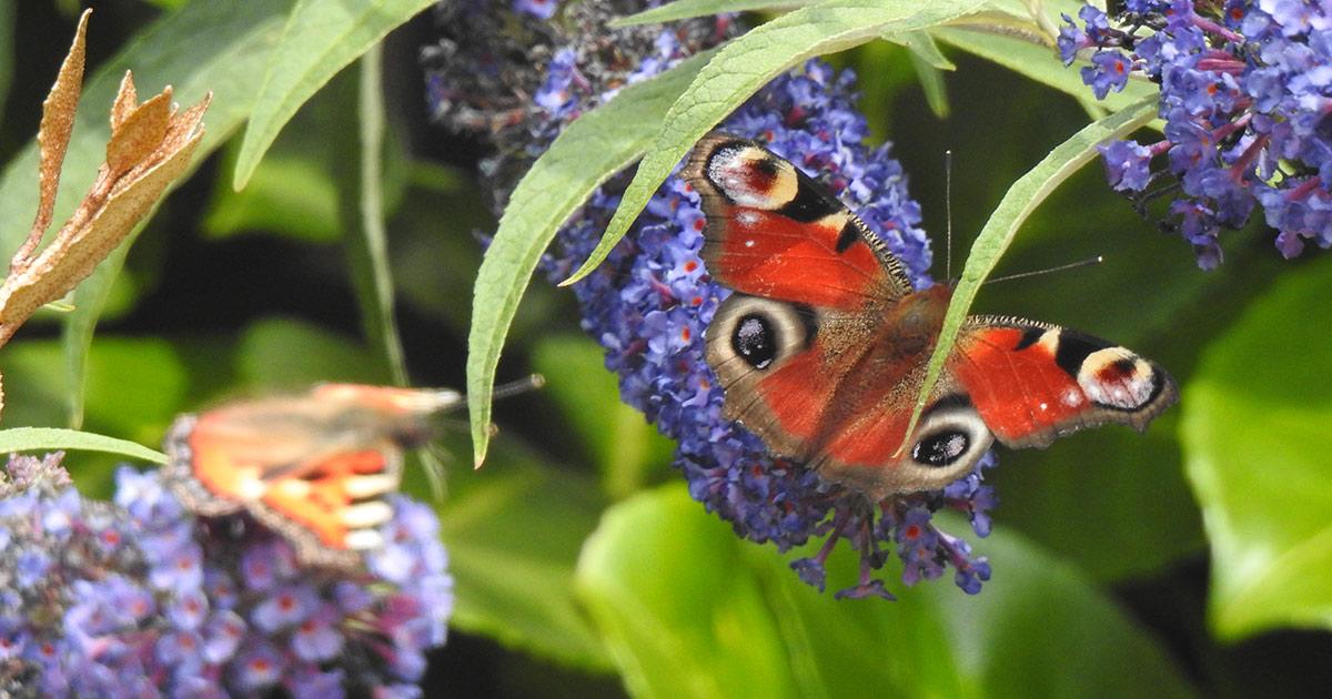 Stilum und Papilio am Tag des Schmetterlings